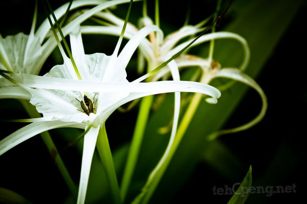 White flower- Borneo Highlands Resort