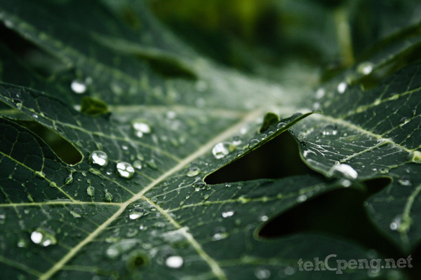 Droplets on the leaves of a Papaya fruit tree